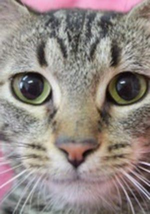 Rajah, a young female tabby, is available for adoption from Wags & Whiskers Pet Rescue. Routine shots are up to date. Call 904-797-6039 or go to wwpetrescue.org.