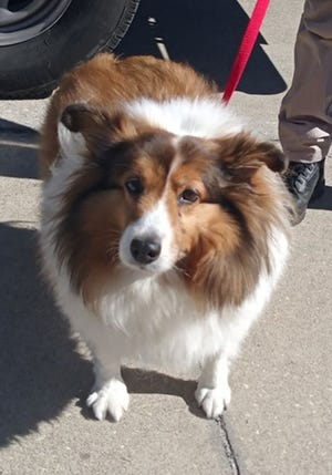 Hazel, an adult female Shetland sheepdog, is available for adoption from SAFE Pet Rescue of Northeast Florida. Call 904-325-0196. Vaccinations are up to date.