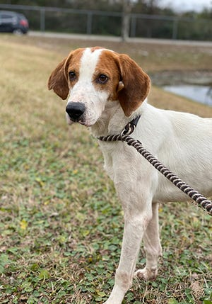 Watson, a 6-year-old male tree walking coonhound, is available for adoption at the St. Johns County Pet Center, 130 N. Stratton Road. Call 904-209-6190. Dog adoptions fees, $45 for males and $60 for females, include neutering/spaying, rabies vaccinations and shots.