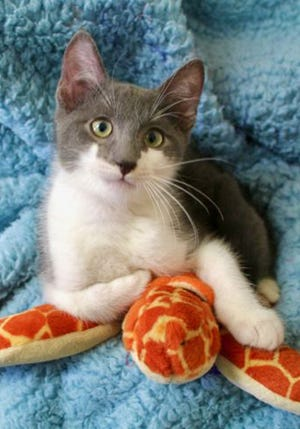 Link, a baby male domestic short hair, is available for adoption from Wags & Whiskers Pet Rescue. Routine shots are up to date. Call 904-797-6039 or go to wwpetrescue.org.