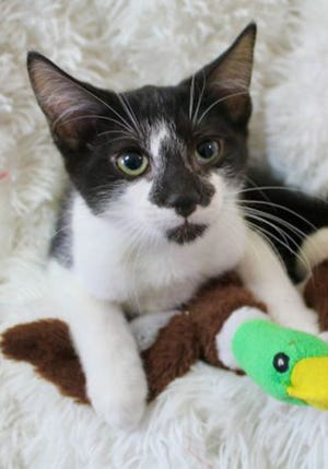 Nabi, a baby male domestic short hair, is available for adoption from Wags & Whiskers Pet Rescue. Routine shots are up to date. Call 904-797-6039 or go to wwpetrescue.org.