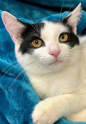Missy, a baby female domestic short hair, is available for adoption from Wags & Whiskers Pet Rescue. Routine shots are up to date. Call 904-797-6039 or go to wwpetrescue.org.