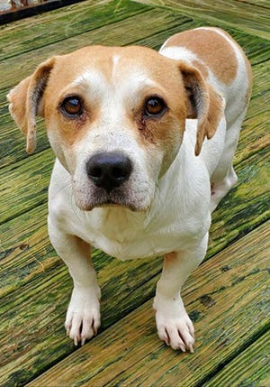 Theodore, an adult male beagle, is available for adoption from SAFE Pet Rescue of Northeast Florida. Call 904-325-0196. Vaccinations are up to date.