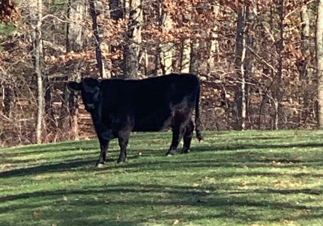 This black cow was spotted in a Dartmouth backyard, but proved difficult to capture.