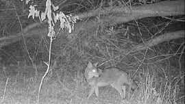 Beware of coyotes who want to dine on your pets