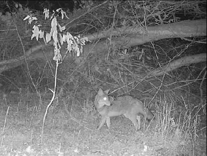 This coyote was recently caught on a trail cam in a back yard on Old Vanceboro Road near Bridgeton. [Contributed by Alton White]