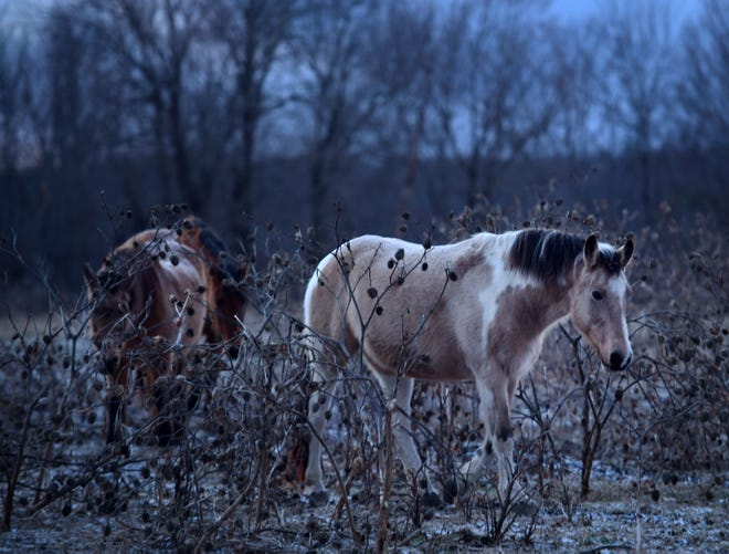 HARDWICK - Horses make their way to a feeding area along Prouty Road on Wednesday.