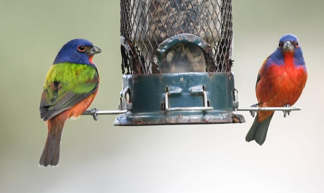 A pair of male Painted Buntings visit a bird feeder in Viera. Craig Bailey/FLORIDA TODAY via USA TODAY NETWORK