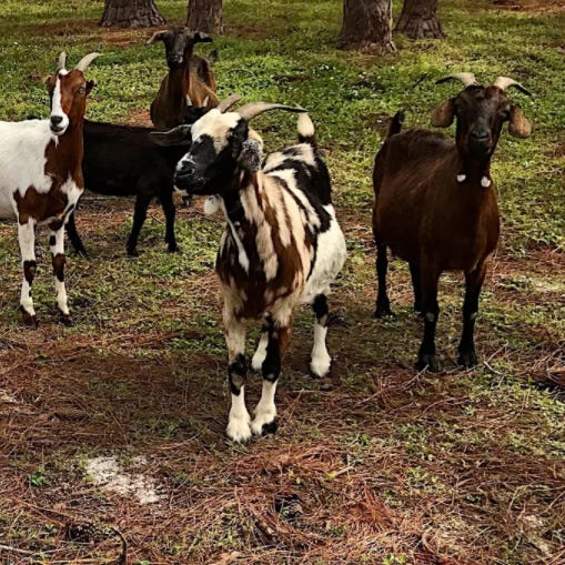 Goats at the Pitts Farm Stand site in south Fort Myers were removed a few years ago. Now after clearing regulatory hurdles, the parcel off College Parkway will be developed for commercial, office and residential use.