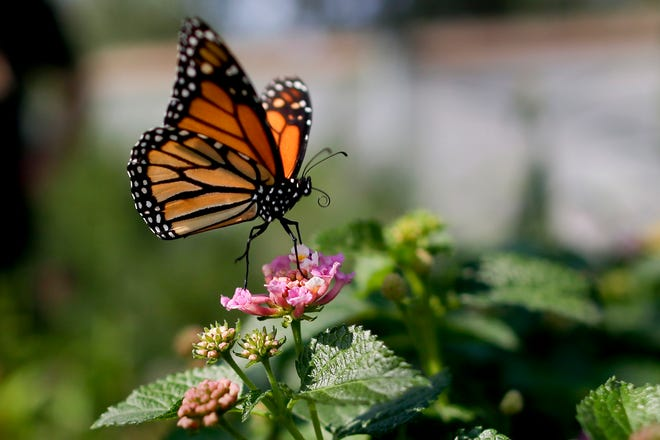 A monarch butterfly in Vista lands on a flower Aug. 19, 2015.