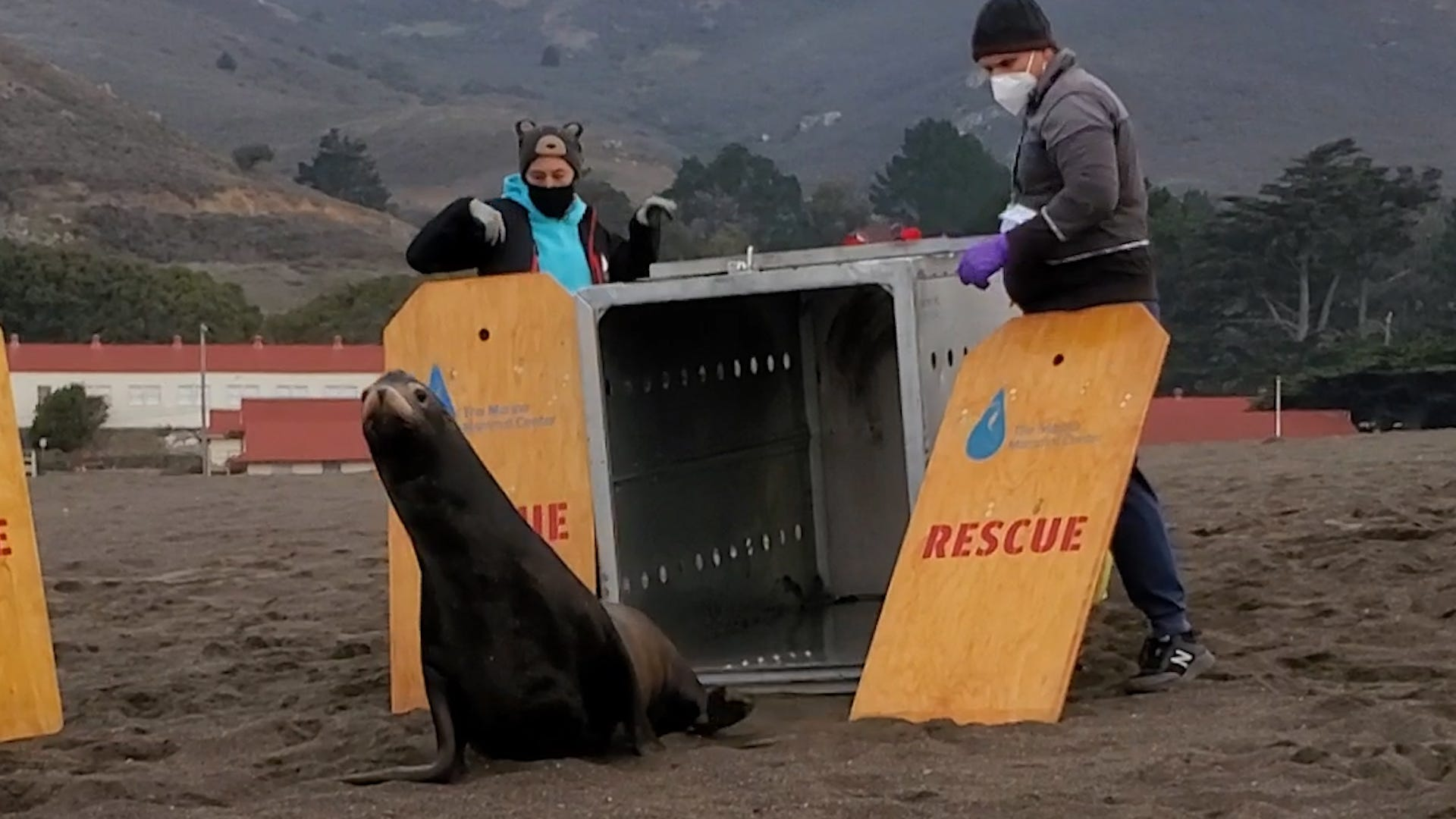 Sea lion returned to wild after shark attack