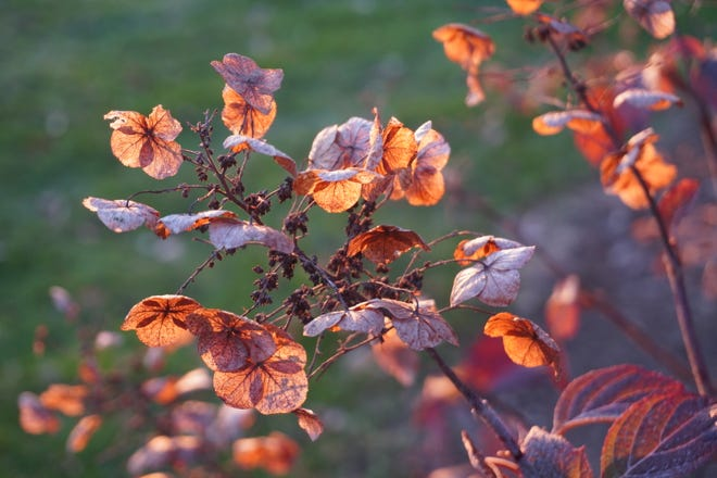 Hydrangea leaves and dried flowers in December at Secrest Arboretum in Wooster.