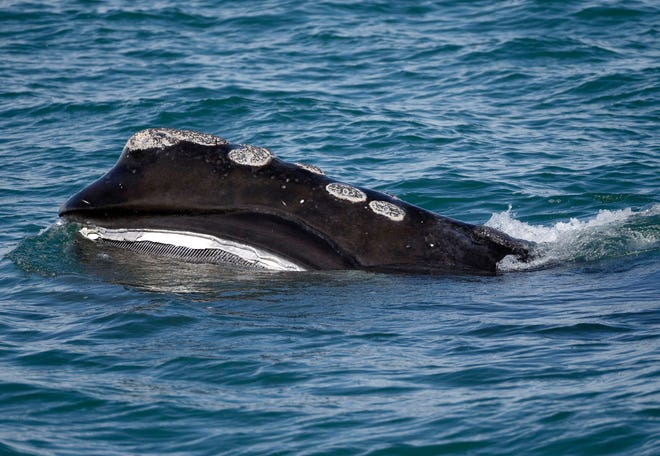 A North Atlantic right whale feeds on the surface of Cape Cod Bay off the coast of Plymouth. A new report released Thursday calls for more mandatory no-speeding zones and other measures to help protect right whales from vessel strikes.