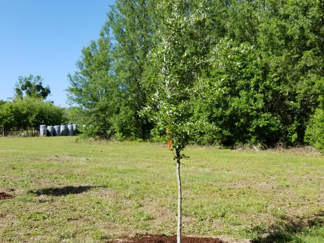 A freshly planted tree