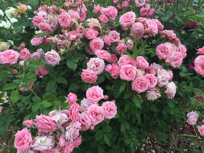 'Gene Boerner' a prodigious floribunda rose named after a famous rose breeder.
