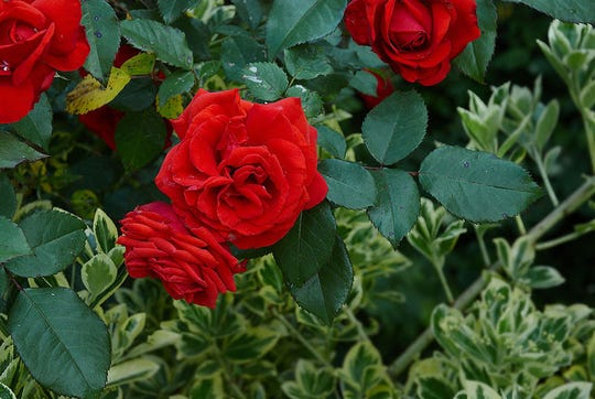 With an encouraging start to the season, it's a good time to consider planting a rose bush. Container-grown roses can be planted any time, but fall-winter is better for good establishment. And the dormant winter, Janu-ary-February, is the only recommended time to successfully plant bare-root roses.
