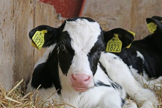 Enhanced milk replacer with high crude-protein dry starter feed gets calves off to strong start.