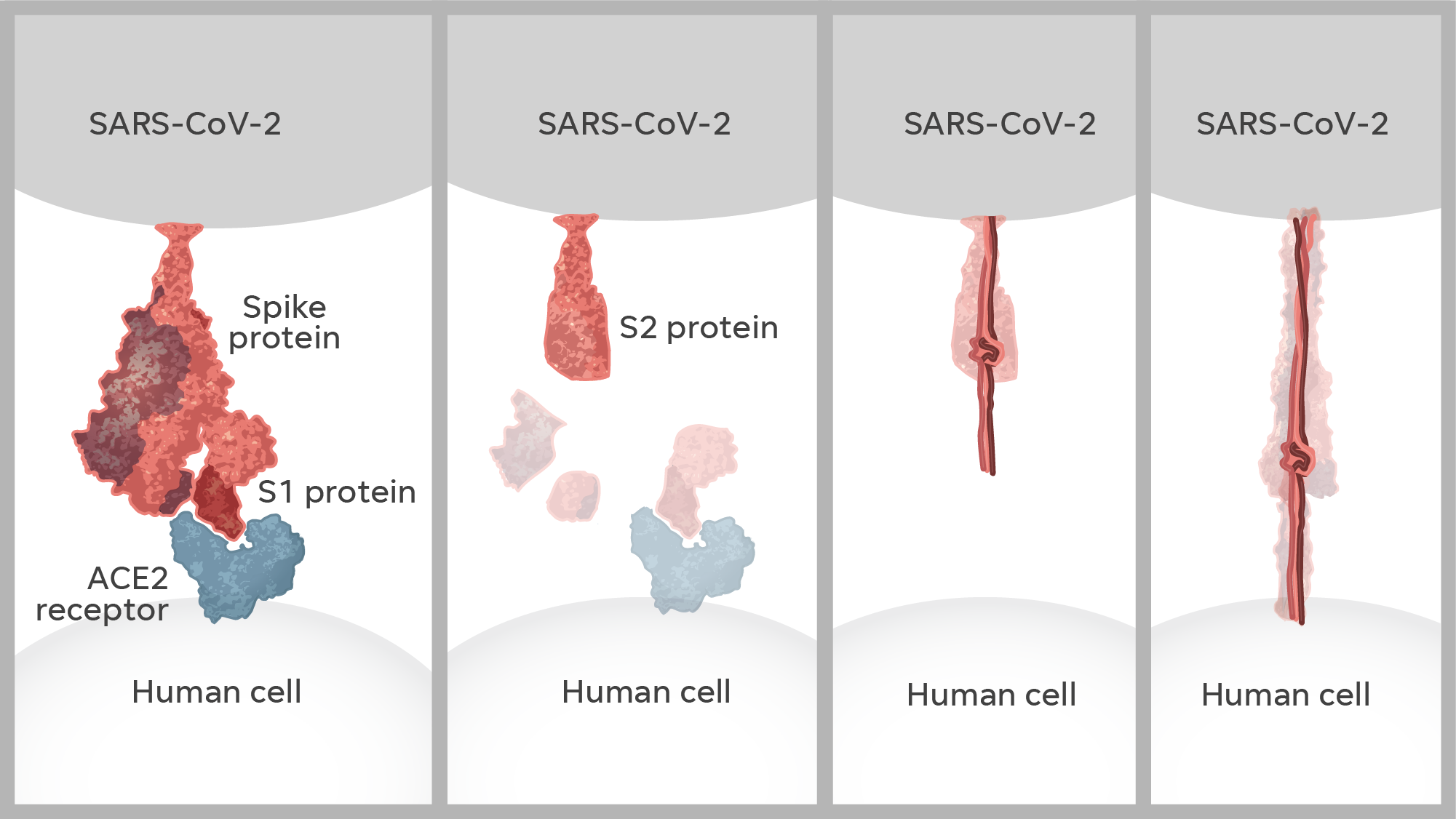 Once it locates a human cell, part of the spike protein – known as S1 – latches onto a receptor on the surface of the cell. The S1 protein falls off, leaving an attached segment – the S2 protein – which inserts itself into the cell.