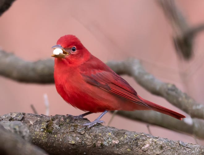 A male summer tanager, a most unexpected winter visitor in Franklin County.