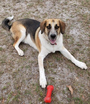 Bubba is a friendly 8-month-old male hound/collie mix. He likes to play with toys and and does well with other dogs. Bubba enjoys receiving attention from all people and will make a loving companion. Consider meeting Bubba at our shelter; he's available to adopt.