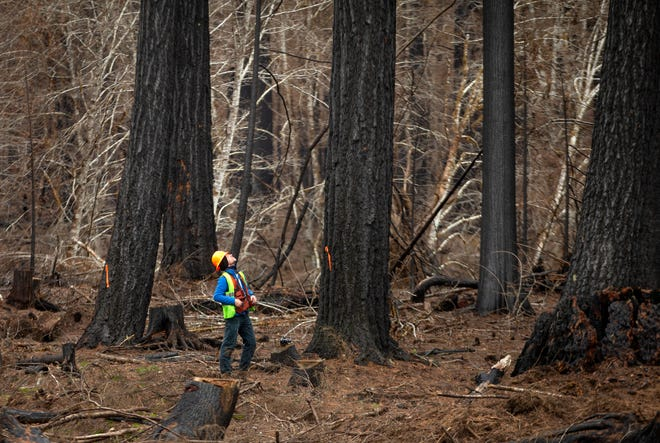 A timber cruiser marks trees for removal on Forest Service land in the Holiday Farm Fire burn area along Highway 126.
