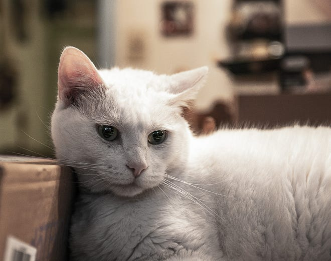 Tosh, pictured here, has a medium face and no problems, but what will the new president do for the expressionless 'mushy-faced' felines? [Bill Hand / Sun Journal Staff]