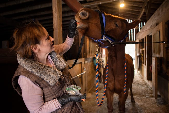 Horse trainer Becky Hudfeld feeds a carrot to her rescue horse, Princeton, inside their Winchendon barn.