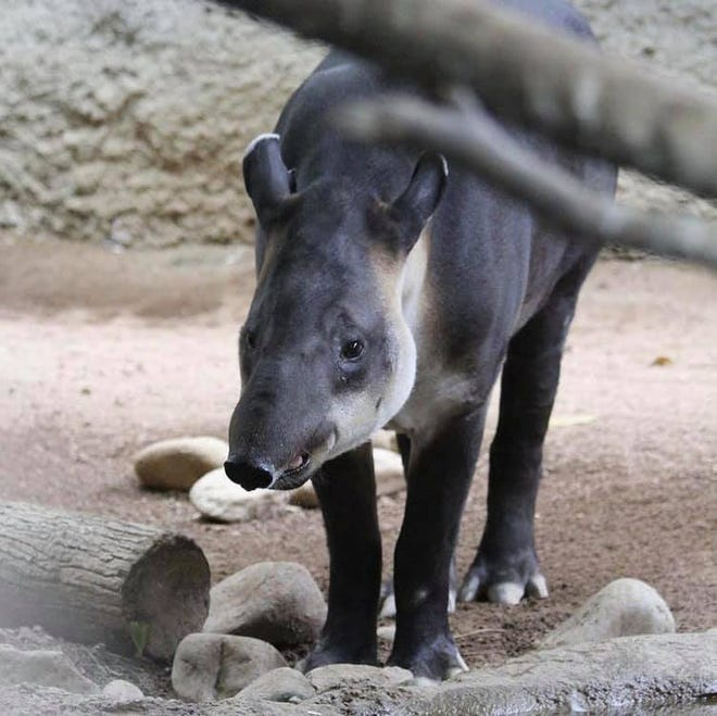 Huey, a 26-year-old Baird's tapir living at Mesker Park Zoo's Amazonia exhibit, was euthanized earlier this week after he was found to suffer from several age-related ailments.