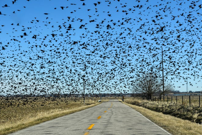 It is not uncommon to see a flock of 10,000 starlings during the winter months.If a flock of that size came through a farm, it could eat more than 900 pounds of feed in a day.