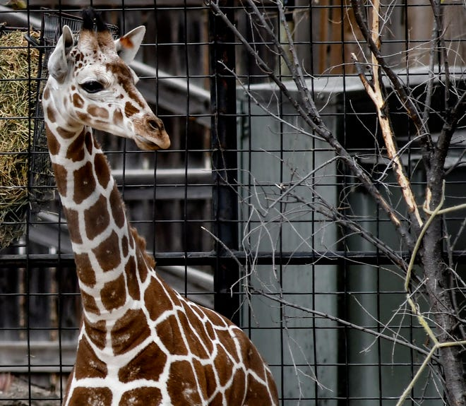Lee Richardson Zoo's young recticular giraffe roams around one of the giraffe exhibit areas at the zoo.
