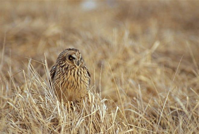 Short-eared owl in tuft of grass.