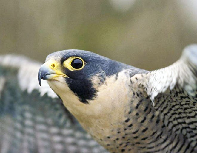 Following years of successful recovery efforts, MDC is proposing removing the peregrine falcon from the state's endangered species list while keeping it a species of conservation concern. Peregrine falcons were removed from the federal endangered species list in 1999.