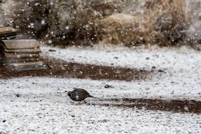 A quail pecks for food during a snow storm in Oak Hills on Saturday, Jan. 23, 2021.