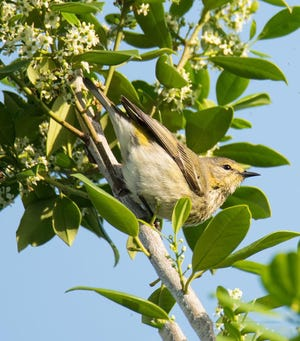 A migratory female Cape May Warbler takes a rest at Las Palmas on the Intracoastal condominiums to savor the blossoms of a native Yaupon Holly tree.