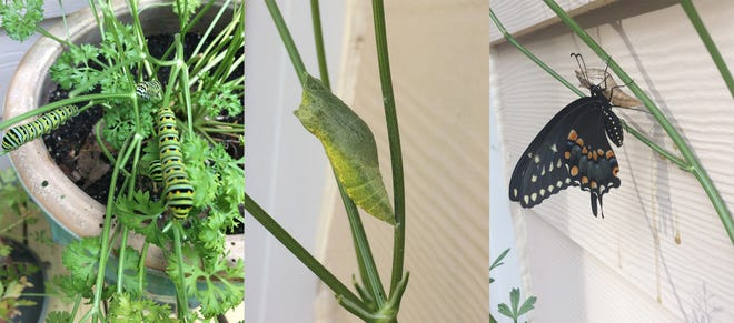 Lifecycle of the Swallowtail butterfly in Coquina Ridge. After the eggs hatch, the caterpillars (larva) are the first stage, then they form chrysalis, then the adult emerges.