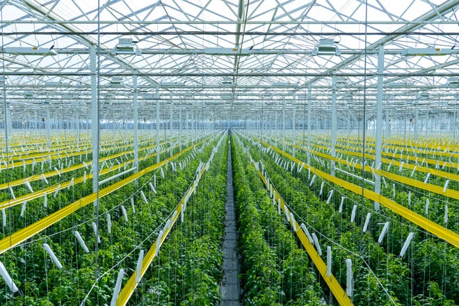 This Thursday, Jan. 14, 2021 photo provided by AppHarvest shows tomatoes being grown in their Morehead, Ky. facility. The company is one of several big players in the fast-growing indoor farming space.