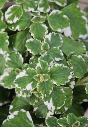 Variegated Swedish ivy