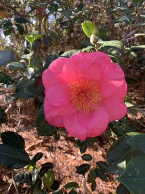 Many camellia varieties are bountiful bloomers in February.