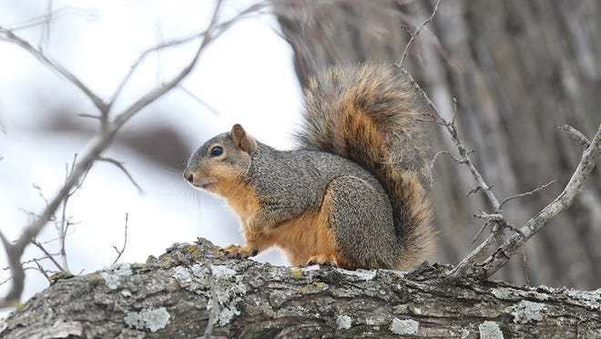 Fox Squirrel at Two Rivers Park