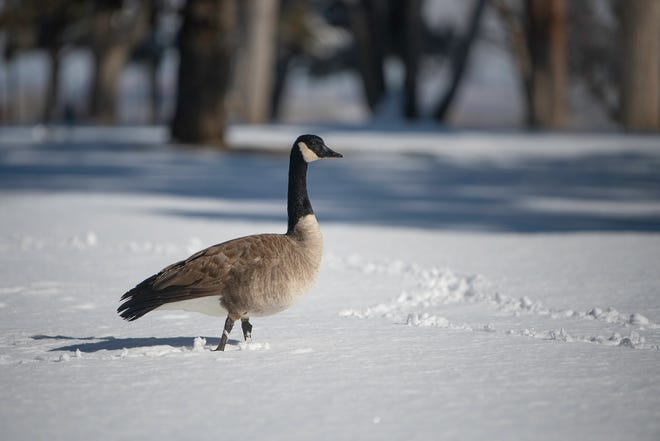 A Canada goose makes its way through a snow blanketed City Park on Monday. Tuesday's forecast includes more snow.
