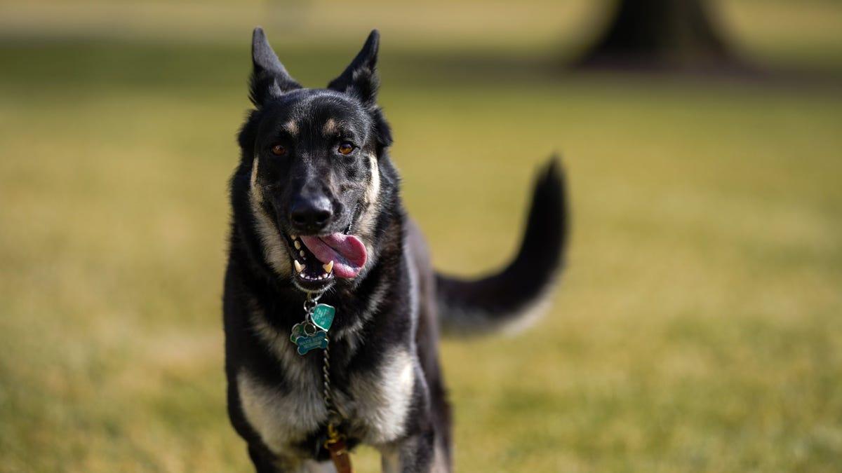 A good boy again: Biden's dog will return to the White House 3