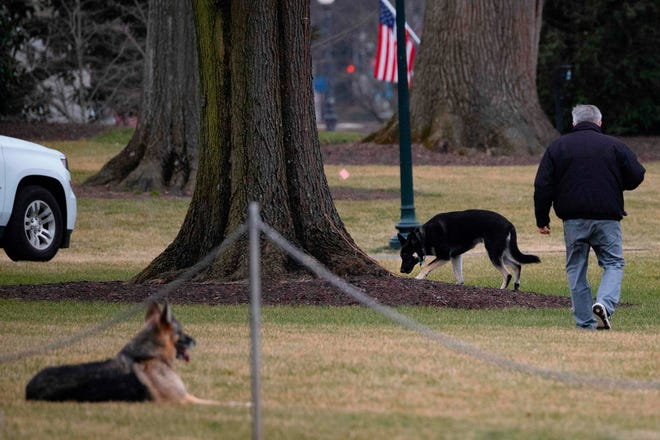 First dogs Champ and Major Biden on the South Lawn of the White House on Jan. 25, 2021. The pooches were seen trotting on the grounds with first lady Jill Biden.