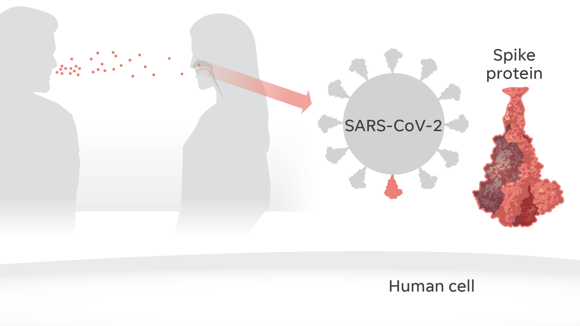 """Scientists learned that people are infected by SARS-CoV-2 through airborne droplets from a person carrying the virus. On the surface of the virus, spike proteins give it a """"corona"""" or crown shape – a coronavirus."""