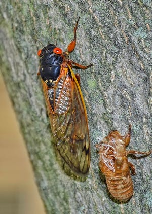 Cicadas shown on a tree trunk
