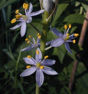 Prairie Hyacinth, a native Illinois plant