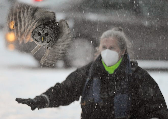 A barred owl is released into the wild at Whitehall State Park in Hopkinton by Westborough animal control officer Melinda MacKendrick, Jan. 26, 2021. The owl was struck by a car on Jan. 3, and received treatment and rehabilitation at the Tufts Wildlife Clinic in Grafton.