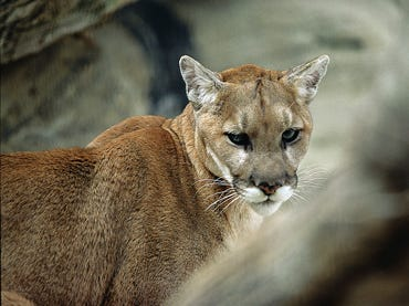 After no positive evidence of its existence had been found in decades, the Eastern cougar was declared extinct and removed from the federal endangered species list in 2018.