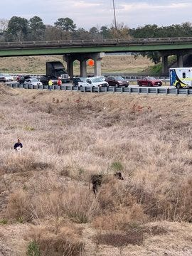 Savannah police work to corral a cow at I-16 and I-516 ramp near Chatham Parkway.