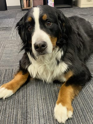 Shelby the Bernese mountain dog is microchipped so she could be quickly reunited with her owner if she were ever to be lost.
