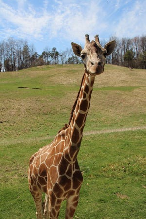 Makena, a 21-year old giraffe at the Binder Park Zoo, died Thursday, Jan. 21, 2021.